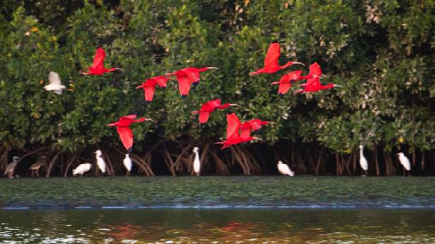 Scarlet Ibises in Flight at Caroni Swamp in Trinidad_g2i19